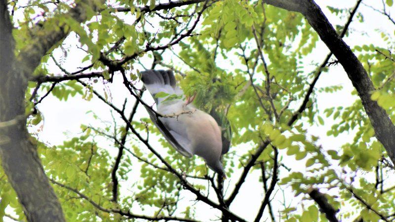 In touw verstrikte duif aan tak uit boom gered
